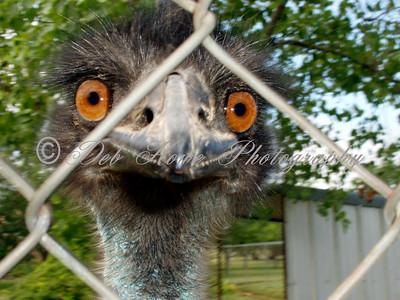 Emu big orange eyes and beak behind chainlink fence.