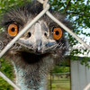 Emu big orange eyes and beak behind chainlink fence.
