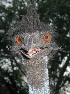 Emu with big orange eyes and beak.
