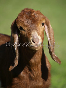 Young Goat portrait with a green background.