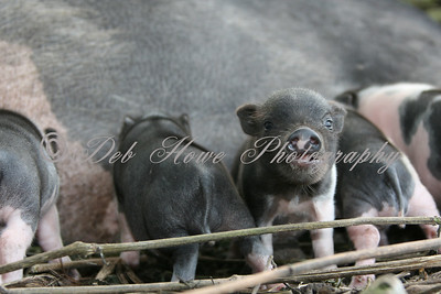 Mother Pig laying with piglets feeding.  Piglets at the milk troth.