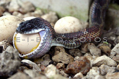 Snake with a mouth full of egg.