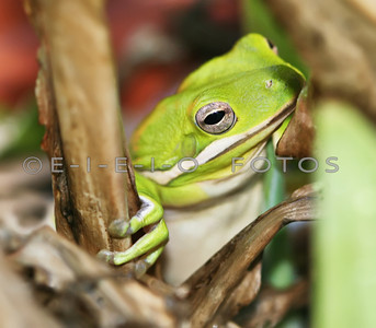 A Side view of a tree frog hiding in brush.