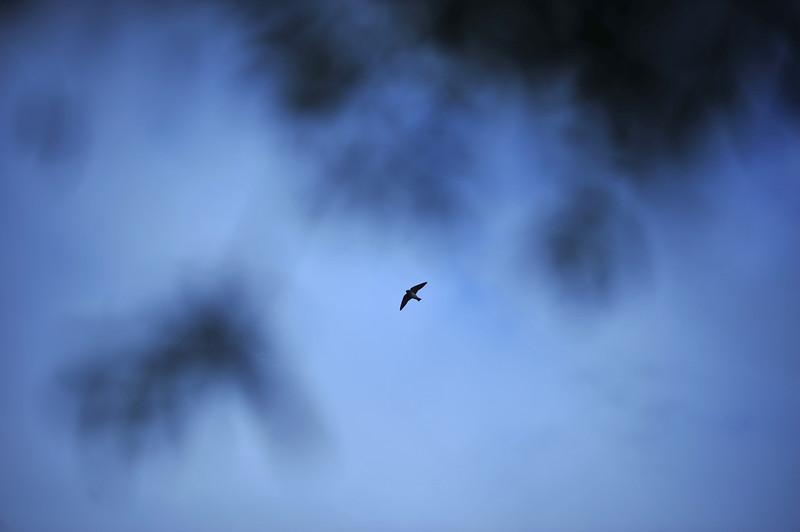 Swallow 050613