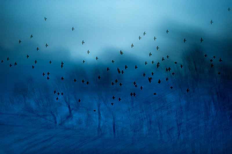 BLue Forest Starlings
