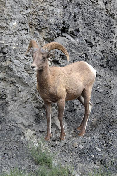 Big Horn Sheep, Yellowstone, WY-1294