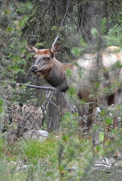 Ms. Attitude Elk, Yellowstone, WY-1129