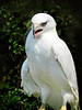 Leucistic Red-tailed Hawk-158b