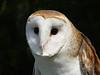Barn Owl-142