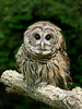 Barred Owl-047