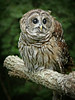 Barred Owl-042b