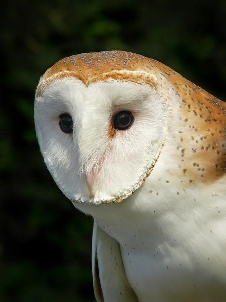Barn Owl-146c