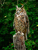 Great Horned Owl-019b
