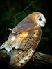 Barn Owl-112b