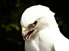 Leucistic Red-tailed Hawk-160c