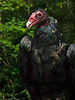 Turkey Vulture-184b