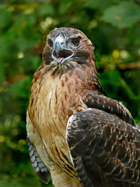 Red-tailed Hawk-990c