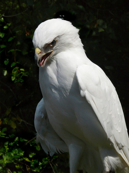 Leucistic Red-tailed Hawk-159b