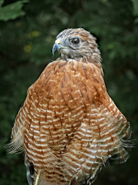 Red-shouldered Hawk-102c
