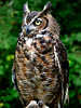 Great Horned Owl-001b