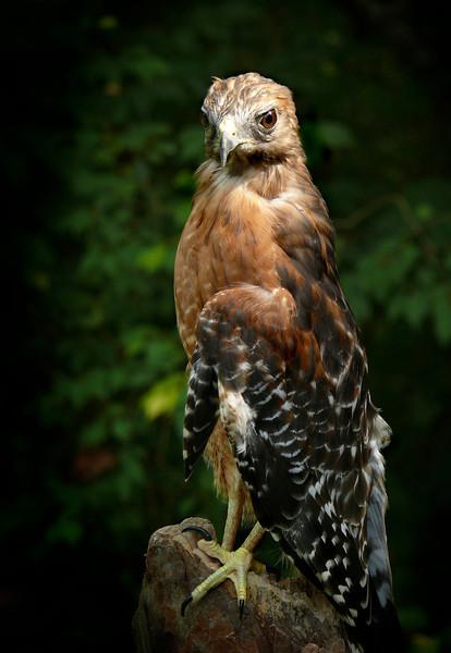 Red-shouldered Hawk-081b
