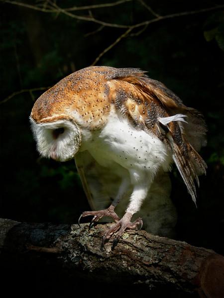 Barn Owl-119d