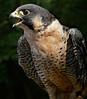 Peregrin Falcon-012b