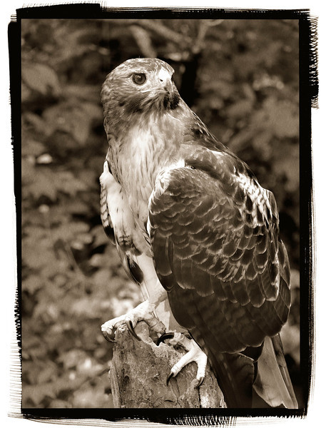 Red-tailed Hawk-982g