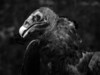 Turkey Vulture-182d