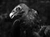 Turkey Vulture-182d