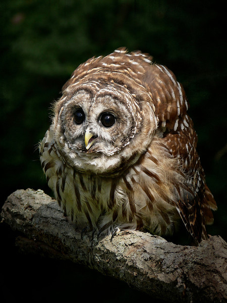 Barred Owl-055e