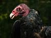 Turkey Vulture-182c