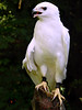 Leucistic Red-tailed Hawk-135