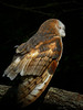 Barn Owl-108f