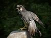 Peregrin Falcon-957