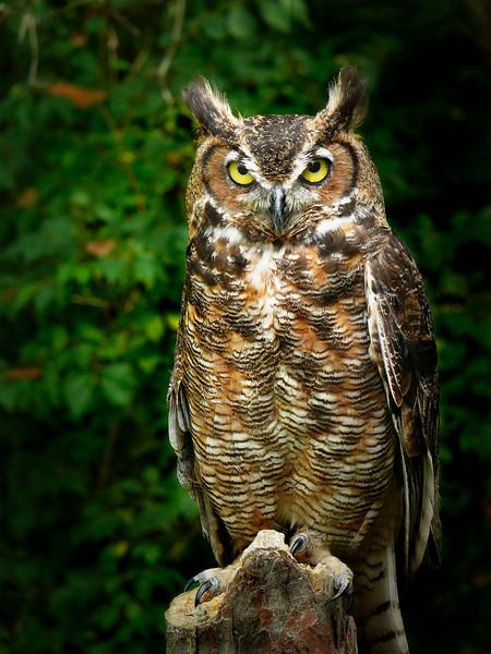 Great Horned Owl-009b