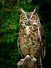 Great Horned Owl-009b