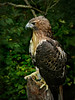 Red-tailed Hawk-988b