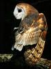 Barn Owl-120d