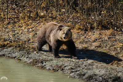 First Wild Grizzly Encounter