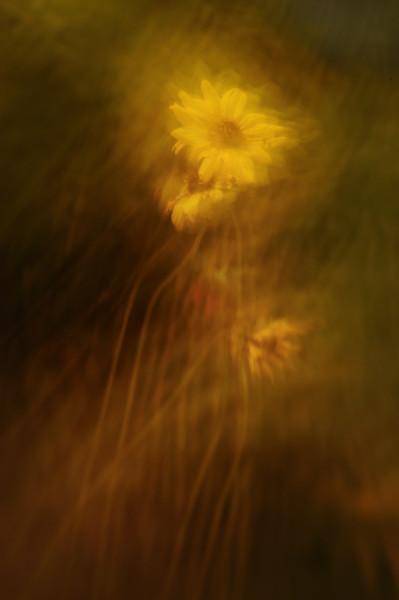 Sunflower Blur