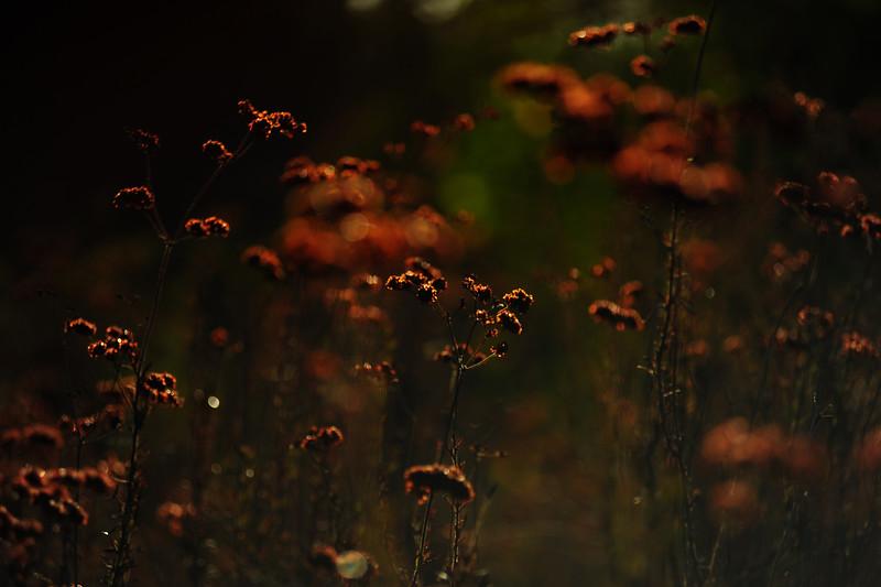 Buckwheat2