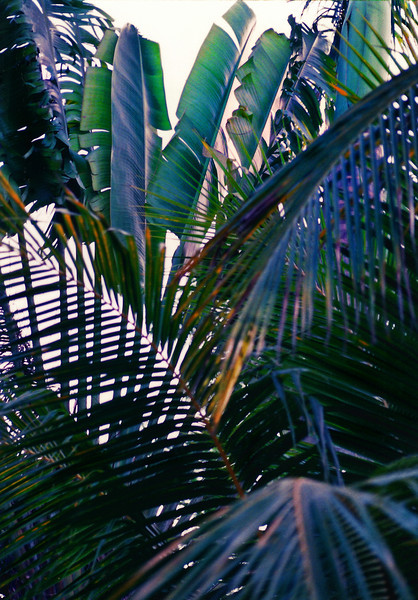 Palm Fronds, Kabah