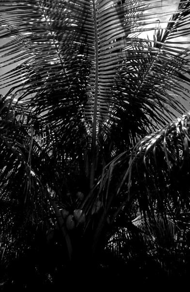 Palm Fronds 2, Kabah