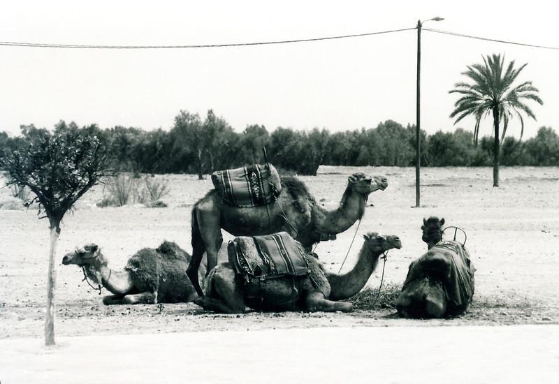 Kamels of Kech