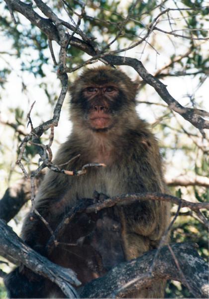 Barbary Ape, Gibraltar
