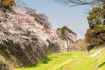 Ishigaki stone walls with cherry blossoms in the springtime.
