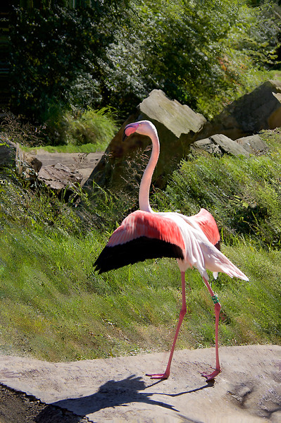 Flamingo-5080/17