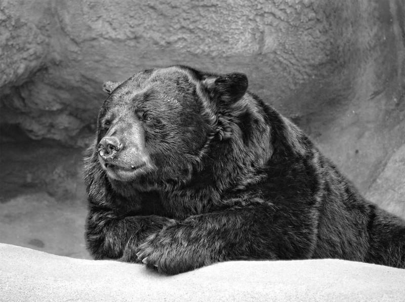 Black Bear-bw