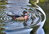 Wood Duck-2774/15